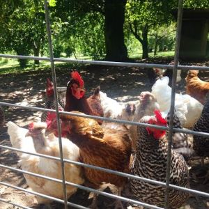 Happy chickens at Birds and Bees Farm.