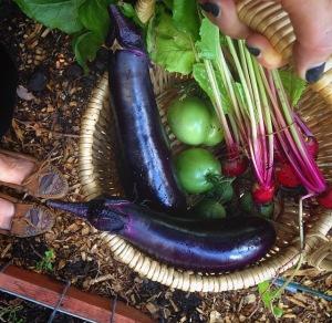 Beautiful mini-harvest of beets, green tomatoes and eggplants!